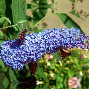 Buzz Sky Blue Butterfly Bush Picture