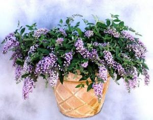 Lavender Veil Butterfly Bush Picture