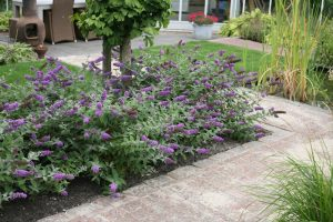 Miniature Butterfly Bush