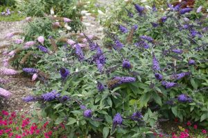 Pugster Blue Butterfly Bush
