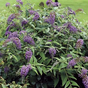 Purple Haze Butterfly Bush