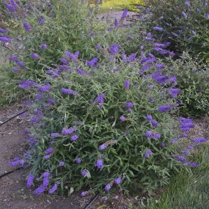 Purple Prince Butterfly Bush