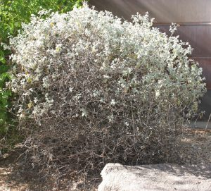 Wooly Butterfly Bush Plant