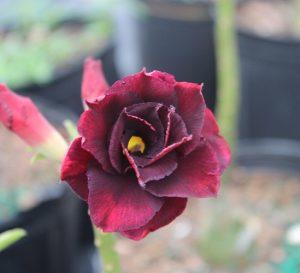 Black Widow Desert Rose