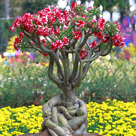 Desert Rose Plant List Of Types With Care Instructions Pictures