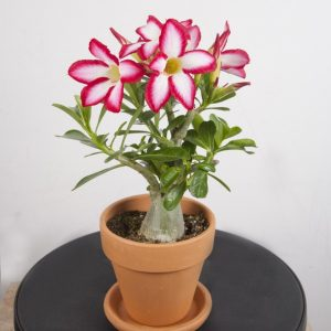 Red Picotee Desert Rose