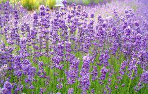 Beechwood Blue Lavender