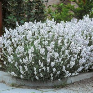Edelweiss Lavender