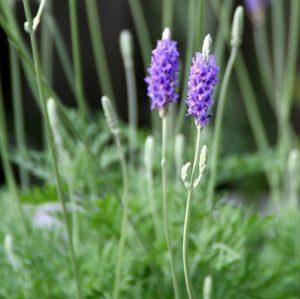 Egyptian Lavender