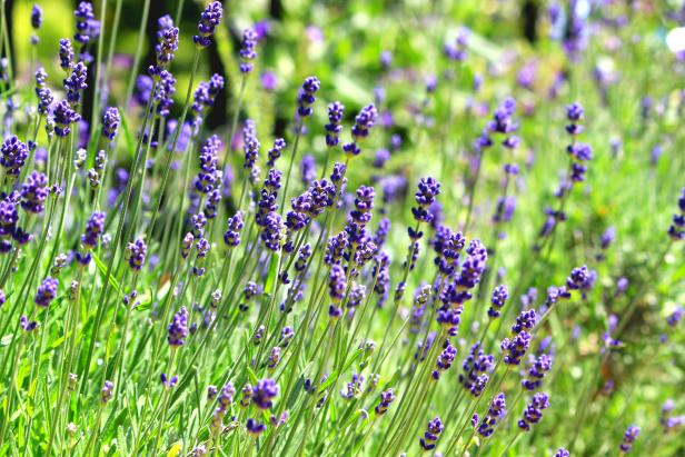 List of Different Types of Lavender Plant with Pictures