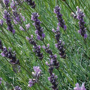 Fred Boutin Lavender