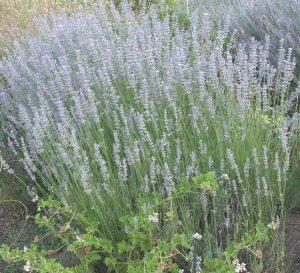 Grappenhall Lavender