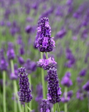 Hidcote Giant Lavender