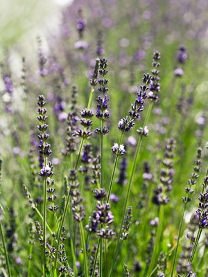 Impress Purple Lavender