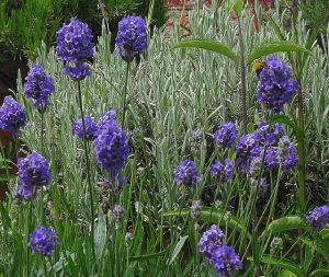 Lavenite Petite Lavender