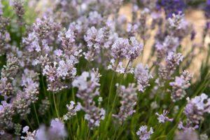 Little Lottie Lavender