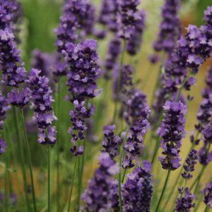 Loddon Blue Lavender