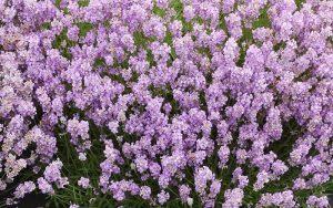 Rosea Lavender