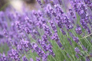 Royal Purple Lavender