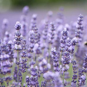 Royal Velvet Lavender