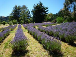 Super Lavender