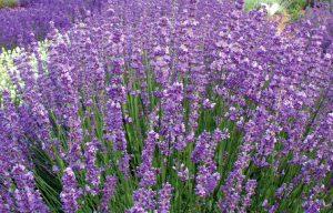 Twickel Purple Lavender