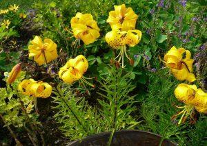 Citronella Lily