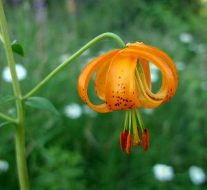 Columbia Lily