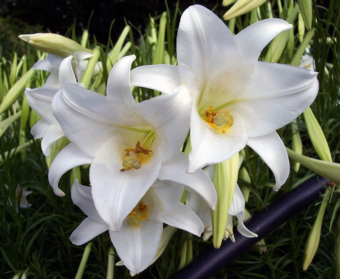 List Of 50 Different Types Of Lilies With Pictures