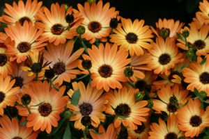 African Daisy Marbella Red and Orange Ground Cover Flower