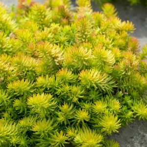 Angelina Stonecrop Yellow Ground Cover Flower