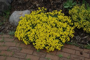Basket of Gold Yellow Ground Cover Flower
