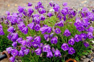 Bellflower 'Jelly Bells' Purple Ground Cover Flower