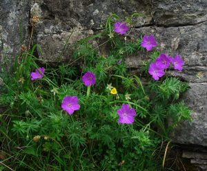 Bloody Crane's-bill Pink Ground Cover Flower