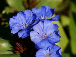 Blue Leadwood Ground Cover Flower
