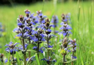 Carpet Bugleweed Blue Ground Cover Flower