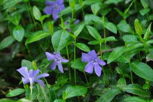 Common Periwinkle Purple Ground Cover Flower