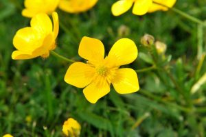 Creeping Buttercup Yellow Ground Cover Flower
