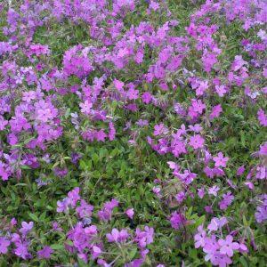 Creeping Phlox Purple Ground Cover Flower