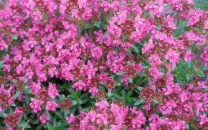 Creeping Thyme Pink Ground Cover Flower
