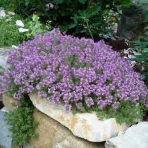 Creeping Thyme Purple Ground Cover Flower