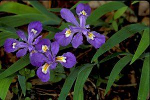 Dwarf Crested Iris Blue Ground Cover Flower