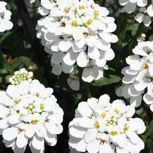 Evergreen Candytuft White Ground Cover Flower