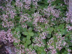 Fairy Crassula Pink Ground Cover Flower