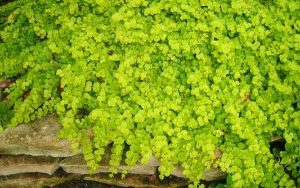 Golden Creeping Jenny Yellow Ground Cover Flower