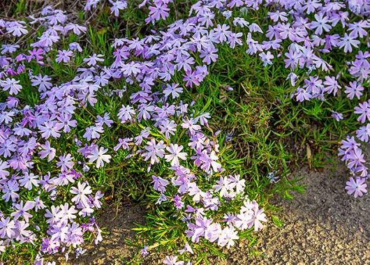 Ground Cover with Purple Flowers