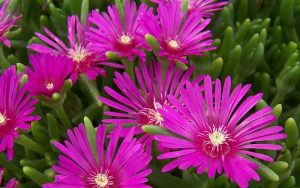 Hardy Iceplant Purple Ground Cover Flower