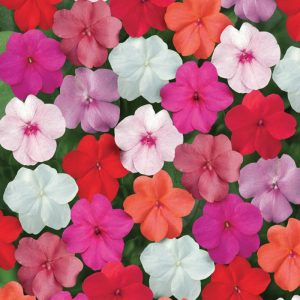 Impatiens Red and Orange Ground Cover Flower