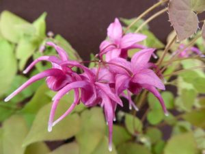 Large Flowered Barrenwort Pink Ground Cover Flower