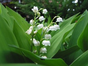 Lily of the Valley White Ground Cover Flower